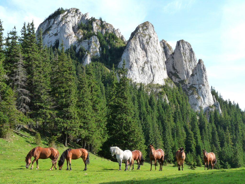 free horses in carpathian mountains romania scenery
